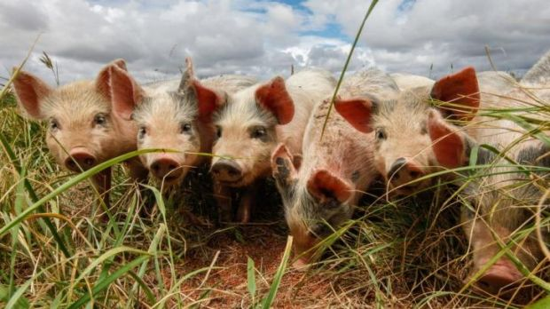 Pork farmers are not happy with the freed trade agreement struck between Australia and Japan.