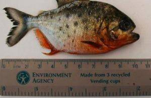 A South American Piranha that has been fished from London's River Thames in 2004.