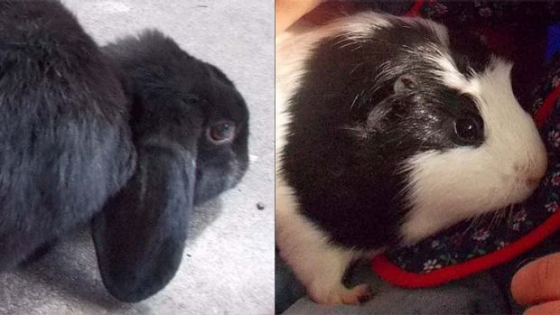 Ebony the rabbit and Piggy the guinea pig.