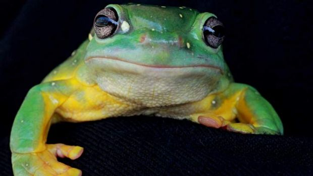 Champ: Spotty the Magnificent Tree Frog.