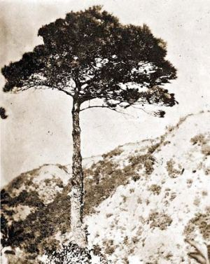 The Aleppo pine was grown from a seed sent back from Gallipoli.