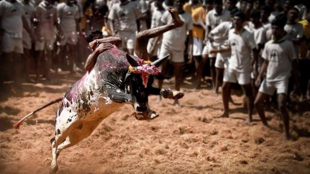 Hanging on: A Tamil youth takes on the bull at Jallikattu, part of the harvest festival, in the village of Alanganallur ...