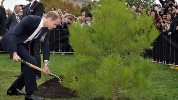 Prince William, Duke of Cambridge plants an Aleppo Pine seedling derived from seeds gathered after the battle of Lone ...