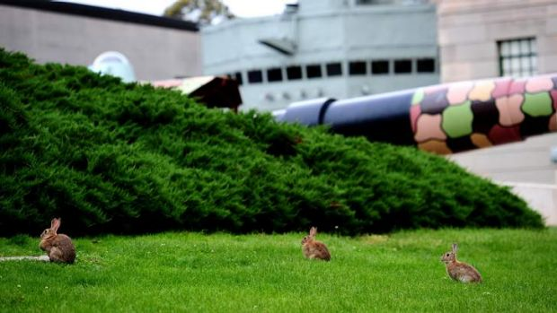 Rabbits roaming the grounds of the War Memorial.