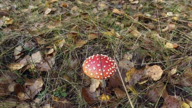 A mushroom in the forest near Novoshepelychi, an abandoned village in the Chernobyl Nuclear Power Plant exclusion zone, ...