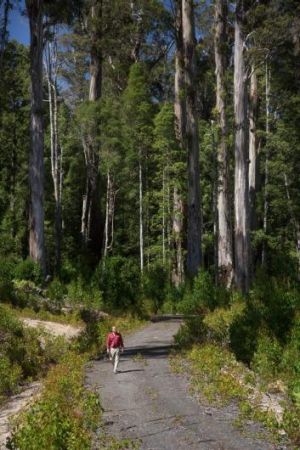 Forest recently listed as World Heritage in the Styx Valley, southern Tasmania.