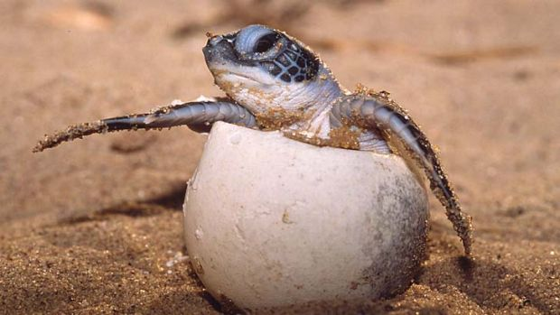 Out of her shell: Rising temperatures mean more female turtles.