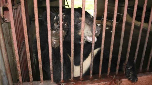 An endangered Asiatic black bear at the Animals Asia rescue centre for ex-farm bears in China's Sichuan Province.