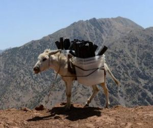 Hauling ass: Donkey transports election material to areas not accessible by road.