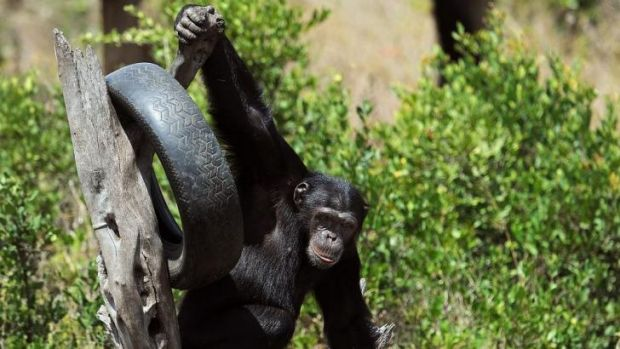 A chimpanzee swings in its enclosure at the Ol-Pejeta conservancy in Laikipia County, Kenya at a centre for primates ...
