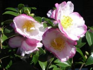 Bloom boom: This week Jackie French picked many, many camellias.
