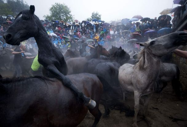 """Aloitadores"" (fighters) struggle with wild horses during the ""Rapa Das Bestas"" (Shearing of the Beasts), a traditional ..."
