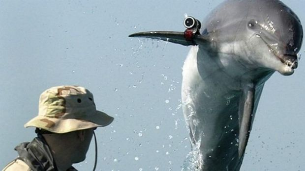 Combat dolphins training in the US