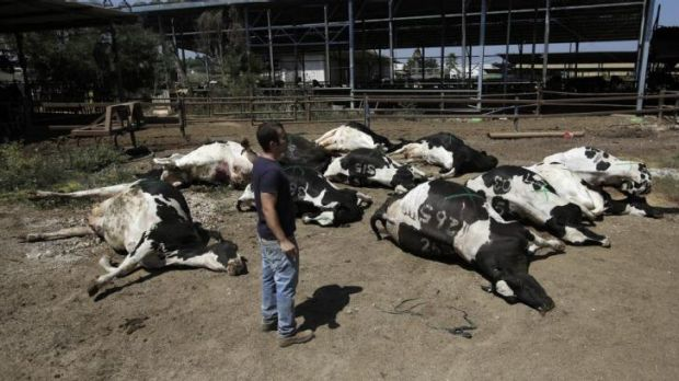 Cows killed in a rocket attack from Hamas on a dairy farm in Beer Tuvia.