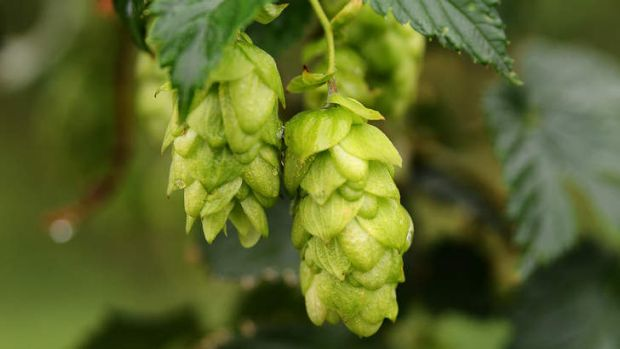The best way to grow hops is to plant a bit of root from someone else's.