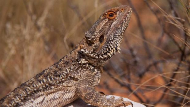 Fascinating detail: The central bearded dragon in Wild Australia.