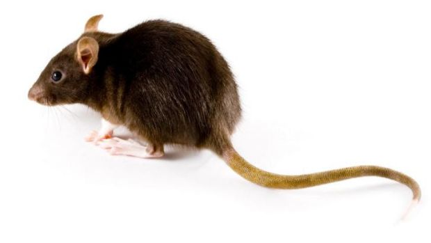 Wanted: Dead rats are worth 25 cents a head in a Philippine campaign to prevent an epidemic.