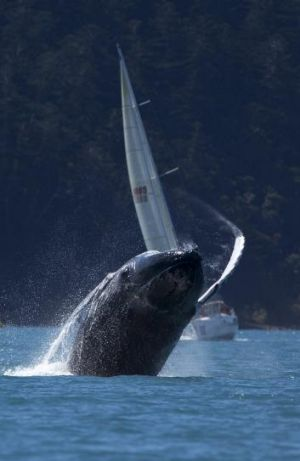 Making a splash: A whale puts on a show during Race Week.