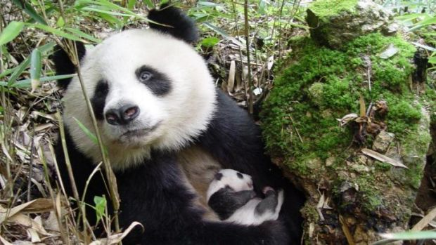 Motherly love: <i>Giant Pandas</i> follows efforts to save the endearing animals.