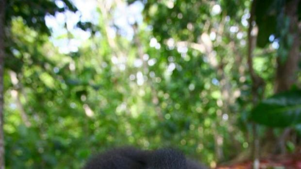 Old brown eyes: Male crested black macaque from Meet The Monkeys.