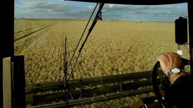 Rain dependent: Barley crop production is set to drop steeply thanks to the dry winter.
