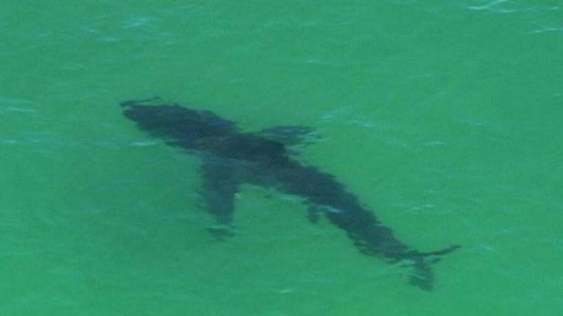 The shark, more than three metres long, was within metres of the shore and is suspected to be a great white.