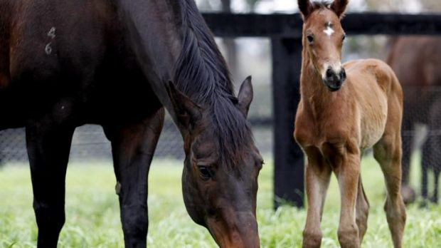 Happy familes: Black Caviar with her new addition.