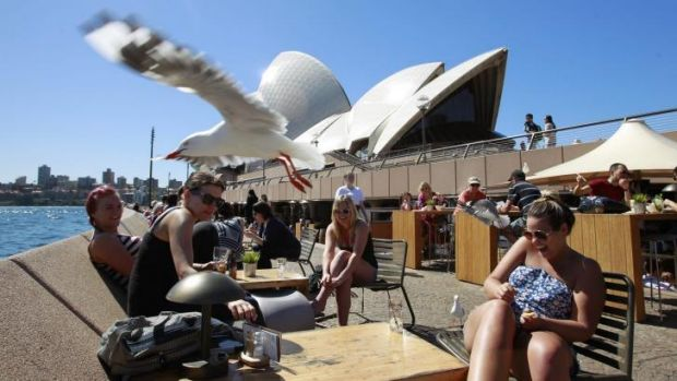 Out of control: Seagulls divebomb patrons at the Sydney Opera House.