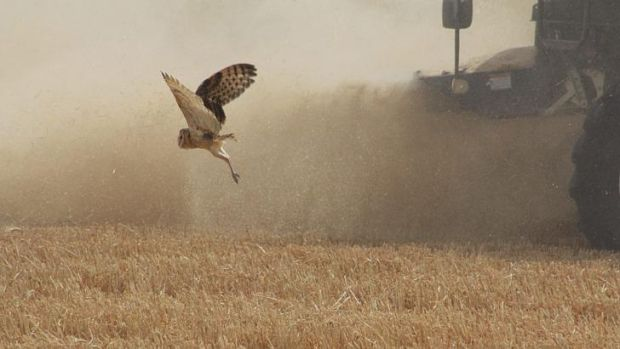 """Peeved"": A grass owl fleeing a combine harvester, which won the Greens competition, by photographer Michael Dahlem."