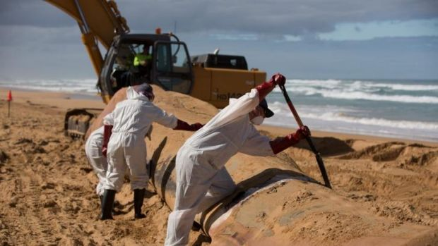 Working to remove the whale at Levy's Beach near Warrnambool.