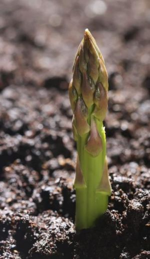 Growth strategy: Two-year crowns will give you a small crop in two years time.