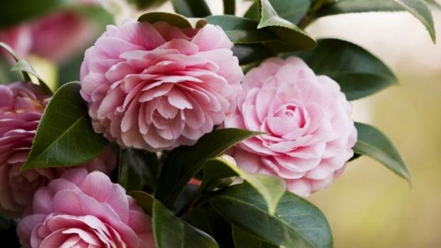 """Camelias: Choose """"mid to late"""" bloomers and they'll flower from midwinter through to spring."""