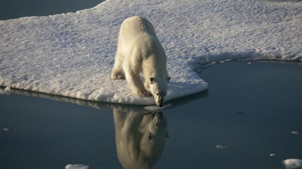 Polar bears' loss of ice to hunt from has led them to find a new food source.