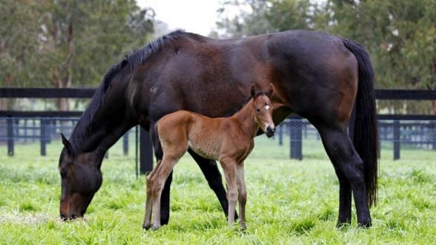 Good pedigree: Unbeaten mare Black Caviar pictured with her first foal last month.