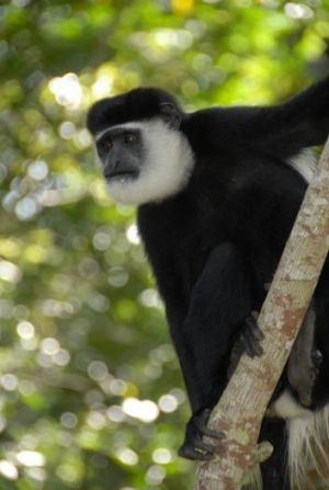 Diet dilemma: Climate change is reducing the nutritional quality of leaves eaten by colobus monkeys in Uganda.