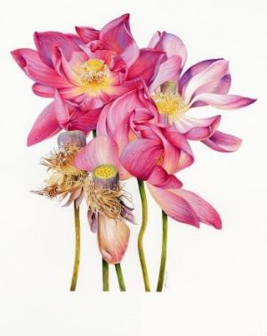 Flower study: Sacred Lotus, by Heidi Wills.