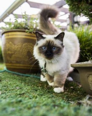 Lyn Goldsworthy's cat Teagha, which is allowed in the garden on a leash to protect native birds.