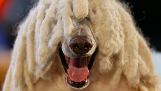 'Akermanis', the Stylish Standard Poodle, at the 2014 Pet Industry Expo.