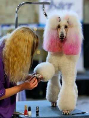 Dog groomer Alyssa Ward works on the nails of a Standard Poodle named Lamorre.