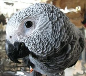 An African grey parrot, similar to Nigel, who went missing for four years.