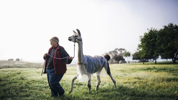 Owner of Alpaca Magic at Sutton, Glynda Bluhm, with an llama wearing a bubble-wrap jacket to keep warm in the frost.