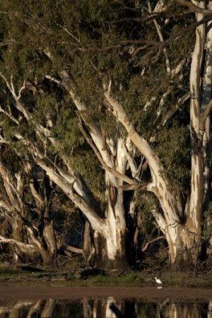 Potent symbol: The River Red Gum is a species which claims the affection of many people.