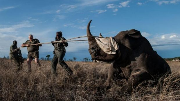 Kruger National Park Veterinary Wildlife Services staff move a white rhino to a safer part of the park.