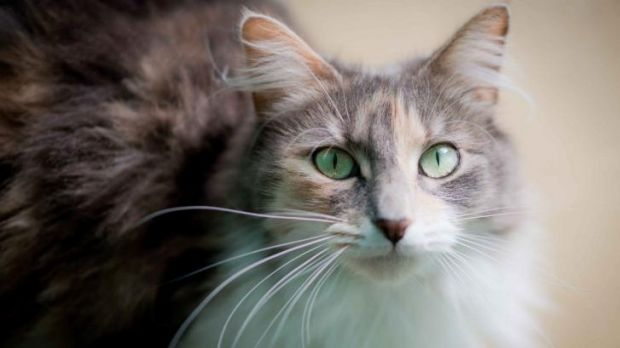 Fussy: Research has shown that cats often obsess over their choice of food.