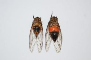 Shrill: Cicadas' droning noise is made by the vibrations of  two drum-like membranes on their abdomens. The male cicada ...