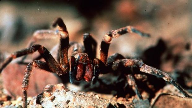 The Brazilian wandering spider quite likes those bananas.