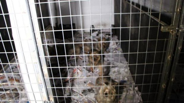 """Puppies living in squalor at Frazer """"puppy farm."""" October 19, 2014."""