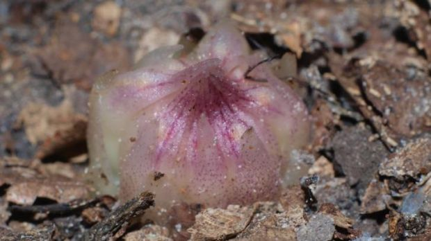 The Eastern Underground Orchid.