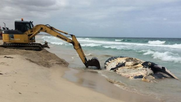 Even this heavy-loading equipment wasn't enough to remove the whale carcass on Monday.