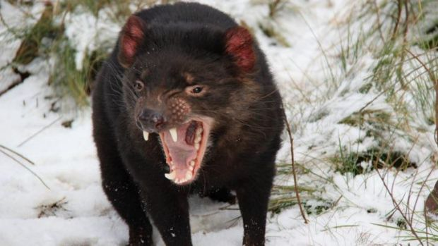 Low genetic diversity: A facial tumour disease has caused about an 80 per cent decline in the population of tasmanian devils.